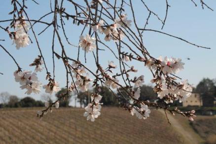 fiore di mandorlo (6)