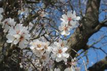 fiore di mandorlo (7)