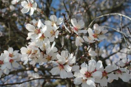 fiore di mandorlo (8)