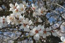 fiore di mandorlo (9)