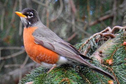american rubin foto da the spruce