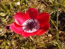 anemone di vertine (1)