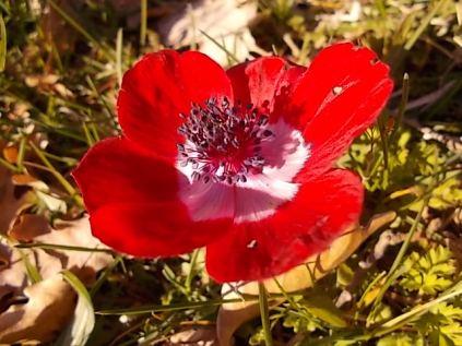 anemone di vertine (11)