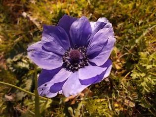anemone di vertine (4)