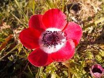 anemone di vertine (6)