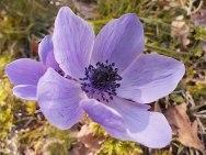 anemone di vertine (8)