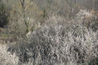 la valle dei pruni fioriti (6)