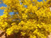 mimosa (4)