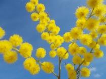mimosa (8)