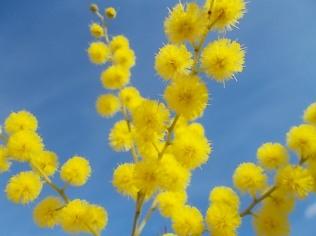 mimosa (9)