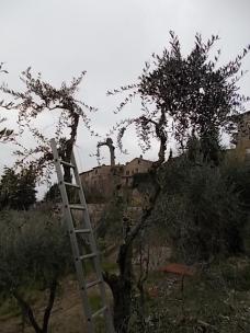 potatura ulivi vertine 2019 (1)