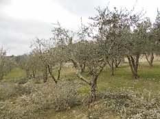 potatura ulivi vertine 2019 (10)