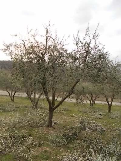 potatura ulivi vertine 2019 (11)