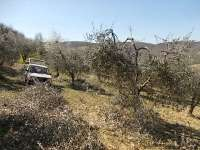 potatura ulivi vertine 2019 (12)