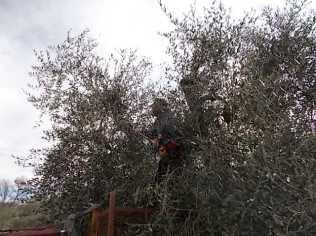 potatura ulivi vertine 2019 (13)
