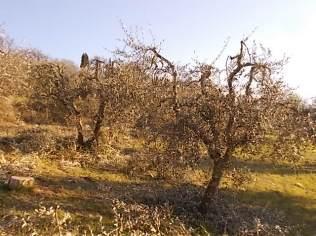 potatura ulivi vertine 2019 (14)