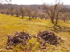potatura ulivi vertine 2019 (16)