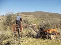 potatura ulivi vertine 2019 (18)