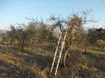 potatura ulivi vertine 2019 (2)