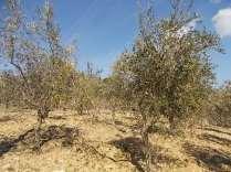 potatura ulivi vertine 2019 (4)