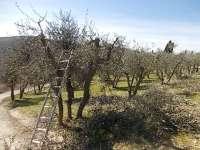 potatura ulivi vertine 2019 (5)