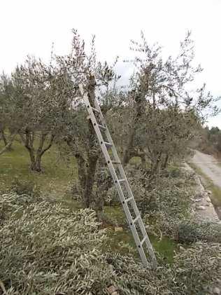 potatura ulivi vertine 2019 (7)