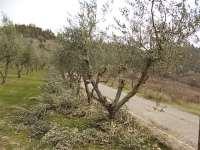 potatura ulivi vertine 2019 (8)