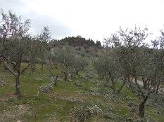 potatura ulivi vertine 2019 (9)