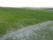 recinzione vigna castelnuovo berardenga (6)