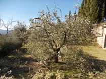recupero ulivi abbandonati (1)