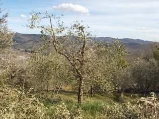 recupero ulivi abbandonati (10)