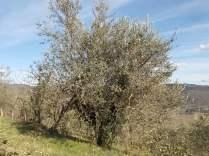 recupero ulivi abbandonati (11)