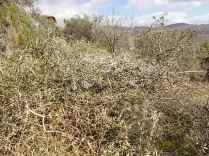 recupero ulivi abbandonati (16)
