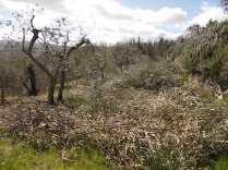 recupero ulivi abbandonati (17)