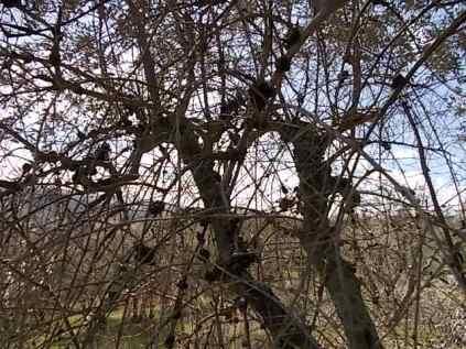 recupero ulivi abbandonati (18)