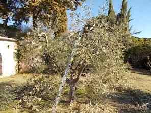 recupero ulivi abbandonati (2)