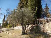 recupero ulivi abbandonati (3)