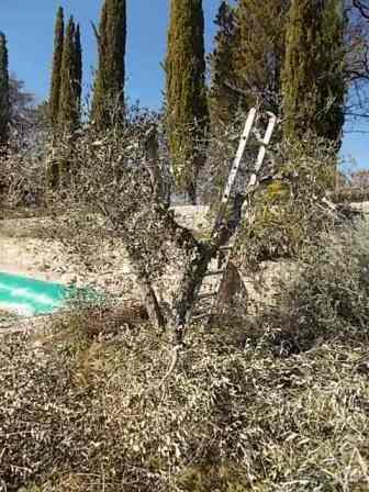 recupero ulivi abbandonati (4)