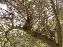 recupero ulivi abbandonati (6)