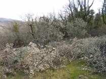 recupero ulivi abbandonati (7)