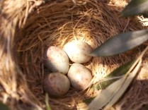 uova di merlo americano (1)