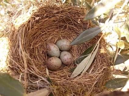 uova di merlo americano (10)