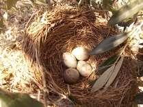 uova di merlo americano (3)