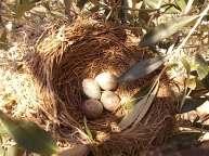 uova di merlo americano (4)