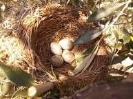 uova di merlo americano (5)