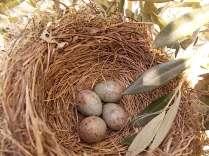 uova di merlo americano (7)