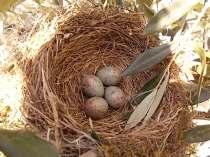 uova di merlo americano (8)