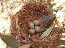 uova di merlo americano (9)