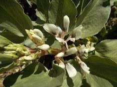 vasco e le fave fiorite dell'orto (1)