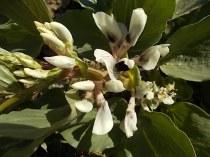 vasco e le fave fiorite dell'orto (10)